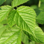 The Use Of Raspberry Leaf In The Pregnancy Tea