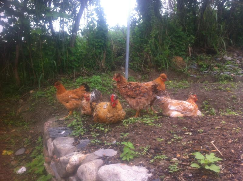 Our flock of Chickens Chilling