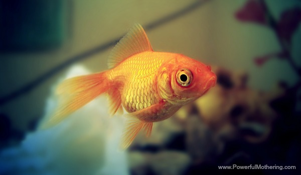 goldfish close up