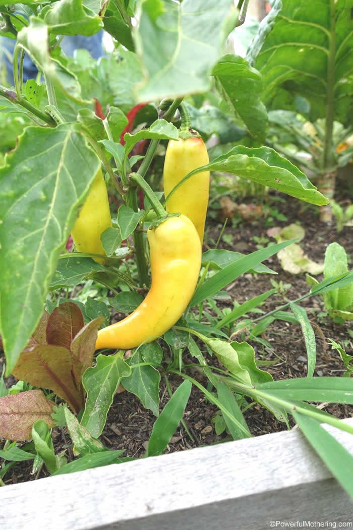 Peppers For Kids To Grow